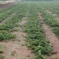 白雪公主草莓苗哪里有 白雪公主草莓苗多少錢一株