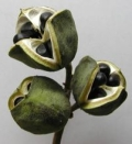 出售文冠果种子文冠果种子多少钱一斤