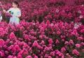 麗娜天鵝絨紫薇基地小苗