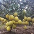 台州三门嘉宝果树生海拔北方能种植吗