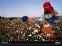 北京/采棉机便携式摘棉花机小型摘棉花机周红灯摘棉花机