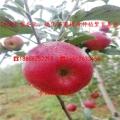 山東美味蘋果樹苗多錢、美味蘋果樹苗銷售