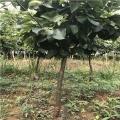 華山梨樹苗哪里有賣、華山梨樹苗多少錢一棵
