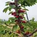 白草莓草莓苗批发价格白草莓草莓苗怎么卖的
