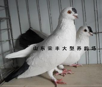 多少 种鸽 现在 一只/中国观赏鸽品种大全