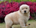 佛山買狗去哪好 南海附近賣金毛的 佛山金毛犬舍