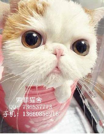 索菲猫舍出售纯种胖嘟嘟包子脸小加菲眼鼻一线超萌可爱