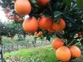 湖南園豐臍橙苗基地 1-3年生園豐臍橙樹苗