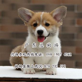 江门/江门哪里有卖纯种柯基犬江门哪里有卖宠物狗柯基...