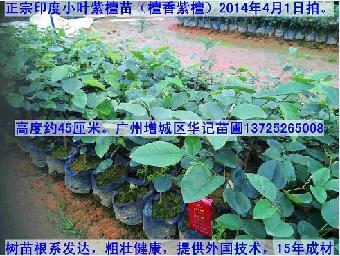 种植出售各种袋装小树苗(高度20——150厘米)如:大腹木棉苗