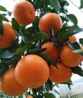 湖南千思明日見柑橘苗晚熟雜柑新品種70cm以上