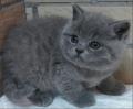 蓝猫什么地方有卖,广州佛山哪里有猫舍,大概多少钱呀