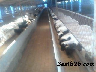 杜波种羊价格羊苗多少钱一只