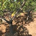 8公分杏树 地径8公分占地杏树 山西杏树产地