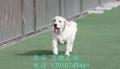 精品家養拉布拉多導盲犬出售 北京市純種拉布拉多價錢