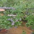 黑龍江省尋找藍莓苗供應廠家、萊克西藍莓樹苗合作社