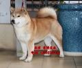纯种日系柴犬出售 赛系柴犬价格 北京京博犬舍直销
