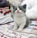 惠州哪里有卖蓝白猫,那个英短蓝白多少钱呀