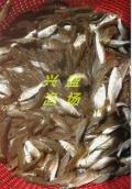 大同市出售優質鯉魚苗 鯉魚苗規格齊全