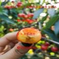 吉塞拉矮化櫻桃樹苗、出售吉塞拉矮化櫻桃樹苗出售基地