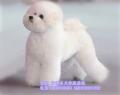 北京純種比熊犬出售 法系卷毛比熊直銷 簽協議保健康
