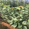 吉塞拉樱桃苗批发价格是多少