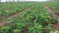淡雪草莓苗批發價 淡雪草莓苗直銷