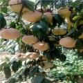 出售中华黑桃王桃树苗、中华黑桃王桃树苗多少钱一棵