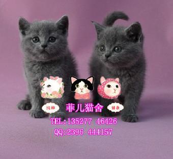 留言咨询:让我联系您 广州菲儿猫舍出售英短蓝猫萌宠纯种健康 可爱
