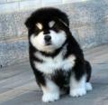 广州哪买狗好一点 广州哪里有卖阿拉斯加雪橇犬