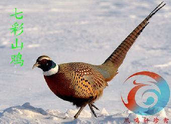 动物 鸡 340_247