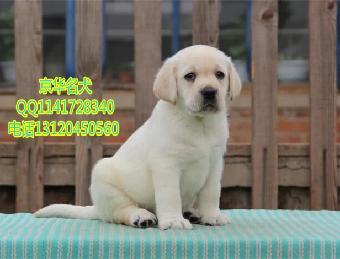 有卖神犬小七电视剧里的那种拉布拉多狗狗青云之志电视剧1部免费图片