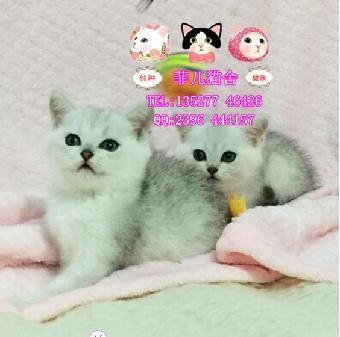 广州菲儿猫舍出售 萌萌哒英短渐层 英短图片