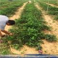 瑪雅草莓苗、瑪雅草莓苗新品種、瑪雅草莓苗價格