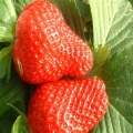 爱莎草莓苗多少钱 爱莎草莓苗价格