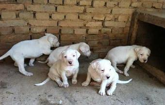成年阿根廷杜高犬价格