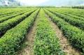 野生绿茶 低价野生绿茶批发 碧优特
