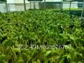 水培蔬菜芽苗菜-芽苗菜無土種植-室內種植芽苗菜