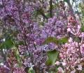 華北紫丁香,大顆紫丁香,河北紫丁香