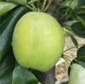 蘇翠1號梨樹苗培育方法2019年成苗價格