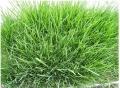 廣西南寧高羊茅種子護坡耐寒耐旱草籽綠化地毯草草坪種
