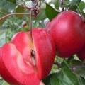 煙富0號蘋果苗報價、煙富0號蘋果苗基地