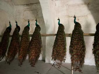 山东曲阜各种孔雀防护、火鸡苗、山鸡苗、产品净化供应鸸鹋图片