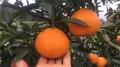 湖南紅美人柑橘種植 愛媛紅美人雜柑苗木栽培基地