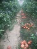 荷兰超早五号-早熟粉果番茄种子