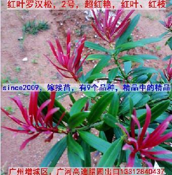 红叶罗汉松苗,红叶菊花芯罗汉松