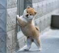 深圳比較出名的狗場 羅湖區哪里有柴犬賣 柴犬價格多