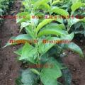 烟富8号苹果苗、烟富8号苹果苗新品种