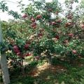 出售3公分苹果树苗、3公分苹果树苗多少钱一棵