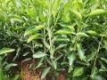 明日見1年生柑橘苗基地品種齊全售后保障